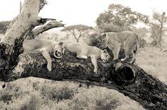Tree Climbing Lions Serengetti National Park Tanzania #1