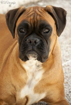 Best dogs ever Funny Dog Memes, Funny Dogs, Cute Dogs, Boxer And Baby, Boxer Love, Boxer Puppies, Dogs And Puppies, Big Dogs, Animals