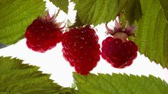 size: Photographic Print: Plush Raspberries by DLILLC : Raspberry, Strawberry, Mouth Watering Food, Plantar, Wine Country, Food Art, Greenery, Vines, Lawn