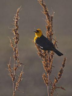 Yellow-headed Blackbird (Xanthocephalus xanthocephalus) backlit by Jeff Dyck