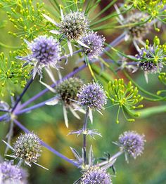 Sea Holly - The silver-blue petals and thistlelike foliage of sea holly (shown here with bright green dill) stand almost hip-high in the flowerbed. This ghostly giant is a biennial, and the plant readily reseeds itself. Grows comfortably in Zones 5-8.