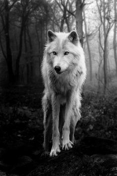 lupo bianco foto in bianco e nero