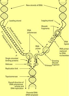130 dna fingerprinting by pcr amplification forensic science dna replication left strand the easy way right strand the hard way ccuart Gallery