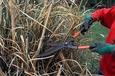 Avant l'hiver, nettoyer et protéger l'herbe de la pampa, graminée du jardin d'ornement.
