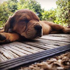 Baby Butters ❤❤❤#puppy #mastweiler #neapolitianmastiff #rottweiler