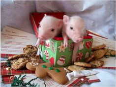 christmas teacup pigs