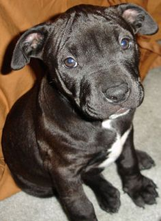 Pit Bull Puppy. If I ever have any children.. they will grow up with a best friend like mine. No dog quite like a pit.