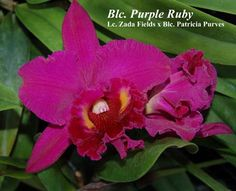 blc. purple ruby