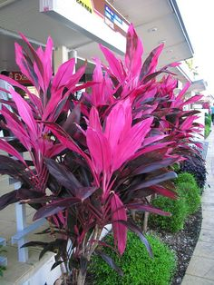 Cordyline fruticosa variegated cultivar - Garden Design about you searching for. Houston Landscaping, Tropical Backyard Landscaping, Tropical Garden Design, Florida Landscaping, Landscaping Plants, Front Yard Landscaping, Tropical Plants, Landscaping Ideas, Outdoor Flowers
