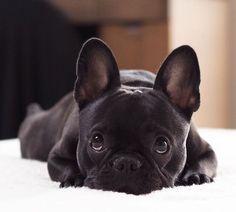 French Bulkdog                                                       … #FrenchBulldog