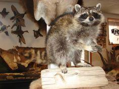 Raccoon Taxidermy