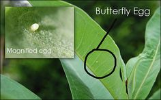 How to raise a Monarch Butterfly egg