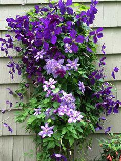 Jackmanii clematis and undos light purple clematis - Home And Garden Sarah's Garden, Garden Edging, Autumn Garden, Dream Garden, Garden Paths, Garden Ideas, Colorful Flowers, Purple Flowers, Beautiful Flowers