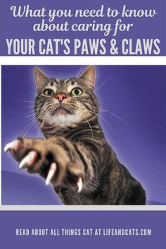 Paw and claw care for your cats. Best way to trim your cat's claws alone. Grooming and health concerns for your cat's paws and claws. Hemingway Cats, Polydactyl Cat, Kitten Care, Cat Care Tips, Paws And Claws, Cat Behavior, Cat Paws, Cat Grooming, Cat Health