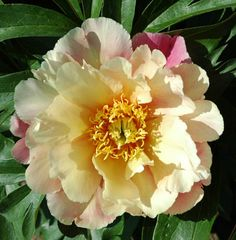 Photo of the bloom of Itoh Peony (Paeonia 'Joanna Marlene') Exotic Plants, Exotic Flowers, Yellow Flowers, Beautiful Flowers, Simply Beautiful, Rock Garden Plants, Garden Types, Fall Plants, Peonies Garden