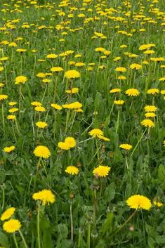 Dandelion oil is unbelievably easy to make and can be used in so many different ways. It heals pain and sore muscles, moisturizes dry skin and so much more. Veg Garden, Easy Garden, Natural Cures, Natural Healing, Dandelion Health Benefits, Herbal Remedies, Home Remedies, Dandelion Oil, Dandelion Recipes
