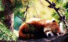 Resultado de imagem para panda vermelho