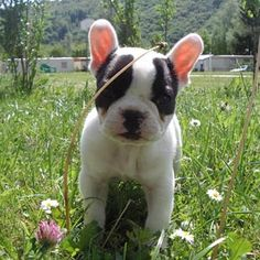 cute french bull dog i cant wait till i get my bew puppy (frenchie) <333