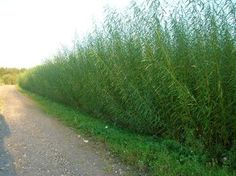 Willow trees are cost-efficient cleaners of contaminated soil http://www.sciencedaily.com/releases/2014/12/141212084952.htm … #phytoremediation