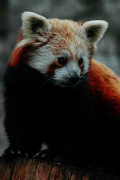 Another cute Red Panda by GremlinzTattoo.deviantart.com on @DeviantArt