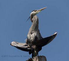 google images blue heron - Google Search