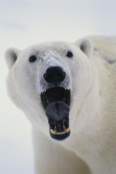 Polar Bear With Open Mouth Cape | Takayuki Maekawa