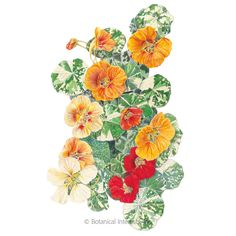 Alaska Variegated Nasturtium Seeds , View All Flowers: Botanical Interests