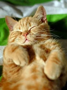 When it comes to cats we all know that our feline friends absolutely love to snooze nap and siesta their way through the day so lets dig a little deeper into the meanings behind cat sleeping patterns positions and behaviors. Orange Tabby Cats, Red Cat, Funny Cats, Funny Animals, Cute Animals, Animals Images, Cute Cats And Kittens, Kittens Cutest, Ragdoll Kittens
