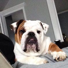 @duke_the_bulldog on Instagram, pinned via the InstaPin iOS App! http://www.instapinapp.com (01/28/2015)