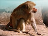 """HAMADRYAS BABOON....  Adult males will emit a warning call that sounds like """"wahoo"""" if predators are in the area. This call is also used to signal aggression."""