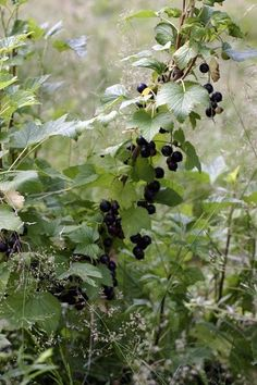 Black Currant PNW NATIVE SHADE LOVING Ribes spp. berries contain seeds dense in nutrients. raw berries tend to be tart. berries contain high levels of pectin, which...