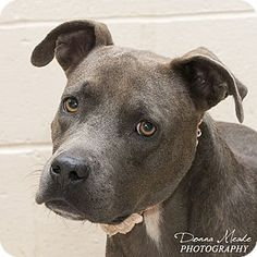Troy, OH - Pit Bull Terrier. Meet Madaline, a dog for adoption. http://www.adoptapet.com/pet/16745401-troy-ohio-pit-bull-terrier