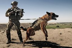 The German Shepherd Dog is one of America's most popular dog breeds — for good reason. He's an intelligent and capable working dog. Military Working Dogs, Military Dogs, Police Dogs, Military Soldier, Marine Military, Military Gifts, War Dogs, Pastor Belga Malinois, Most Popular Dog Breeds
