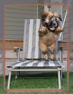 Wheaten Terrier puppy :)
