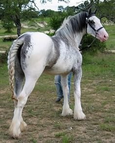 Rare Draft Horse Breeds | Rare or different colored draft horses, breeds, etc! at the Horse ...