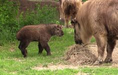 This one-month-old Sichuan takin (it rhymes with rockin') calf at the Saint Louis Zoo takes on an adult female and tries to climb the giant roller brush his keepers provided. Cuteness ensues. Watch the video!