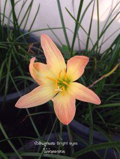 บัวดิน #บัวดิน #บัวดินที่ไม้หัวดอกสวย #บัวดินที่บ้าน #ไม้หัวดอกสวย #rainlily #lily #flower #flora