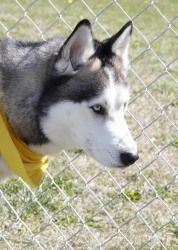 Titan is an adoptable Husky Dog in Bay City, MI. Kennel 3: A great looking Male Husky. Titan is approximately 2 years old and is already wearing his scarf for the trip home. He is very friendly and ha...