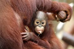 (PA) Baby Zoo Animals Around The World:  Asian Orangutan (Clinging to his mum, baby Changi meets his public  for the first time at Krefeld Zoo, Germany.)
