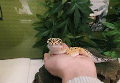 Cute Reptiles, Reptiles And Amphibians, Pretty Animals, Cute Baby Animals, Reptile Pets, Gecko Terrarium, Cute Gecko, Cute Frogs, Nature Animals