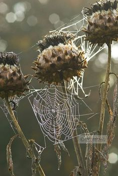 Howard Rice's garden photography has been published internationally in numerous books & magazines. Search Howard's extensive library of garden stock photos. Fotografia Macro, Nature Photography Flowers, Photography Gallery, Spider Art, Spider Webs, The Ancient Magus Bride, Seed Pods, Autumn Garden, Pics Art