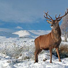 Scotland Forever (scotland-forever: Deer-Stag by Grant Glendinning)