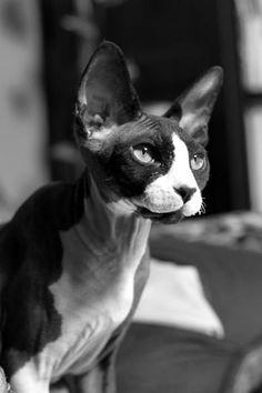 TRECE Sphynx cat #sphynx #cat