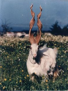 spiral-horned Markhor goat of Kashmir.  EXTREMELY endangered. (a few hundred left)  It is a pretty picture with a pretty sad story behind it for these guys