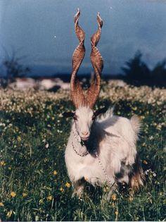 Spiral-horned Markhor goat of Kashmir.