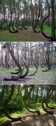 Polands Crooked Forest They Dont Know What Caused The Trees To - To this day the mystery of polands crooked forest remains unexplained