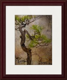 """""""Matsu""""+by+Eena+Bo,+Tokyo+//+Japanese+pine+tree+(Matsu).Green+throughout+the+year,+the+pine+tree+symbolizes+youth+and+longevity+and+is+used+as+decorative+plant+in+most+Japanese+gardens.+//+Imagekind.com+--+Buy+stunning+fine+art+prints,+framed+prints+and+canvas+prints+directly+from+independent+working+artists+and+photographers."""