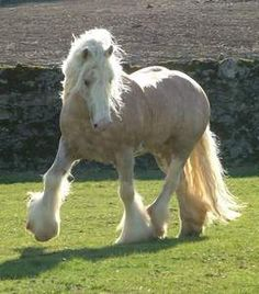 Irish Cob - Established over many generations by the Travellers (gypsies) sometimes called the Gypsy Cob or Gypsy Vanner. Travellers in Ireland, Wales, England & Scotland bred their horses very selectively for 100's of years.