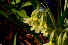 Etelän esikko | Vesan viherpiperryskuvat – puutarha kukkii