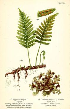 Vintage Art Prints, Antique Prints, Botanical Drawings, Botanical Prints, Sage Green Wallpaper, Illustration Blume, Plant Drawing, Nature Prints, Etsy